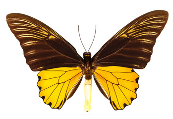 Malaya birdwing butterfly