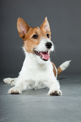 Young cute jack russell dog isolated on grey.