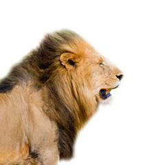 lion's head isolated