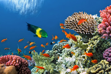 Fototapete - Tropical Fish on Coral Reef in the Red Sea