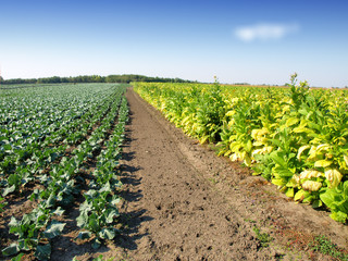 Tobacco Plants and Cabbage