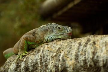 Зеленая игуана на дереве с высунутым языком