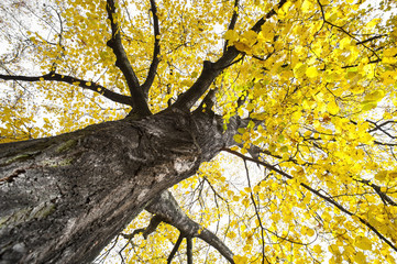 a big autumnal tree with yellow leaves
