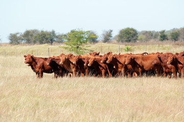 Red angus cattle Wall mural