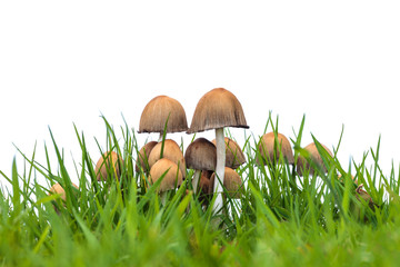 Group of psathyrella mushrooms on fresh grass