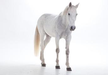 Horse portrait in photo studio