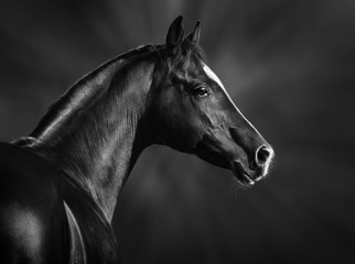Wall Mural - Black and white portrait of arabian stallion