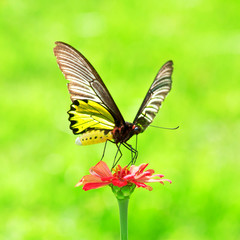 Golden Birdwing Butterfly insect sucking Zinnia flower nectar