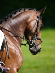 Dressage Head Shot