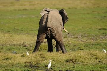 Elefante che va di corpo