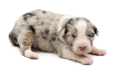 Australian Shepherd puppy, 14 days old