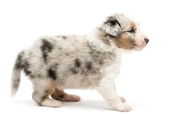 Side view of an Australian Shepherd puppy standing