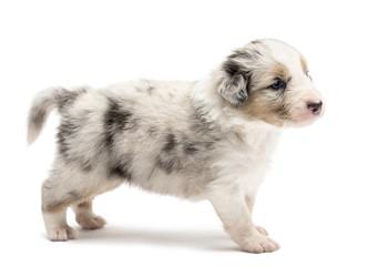 Australian Shepherd puppy, 24 days old