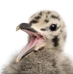 European Herring Gull chick calling, Larus argentatus