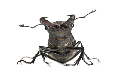 Male stag beetle, Lucanus cervus against white background