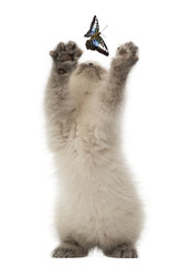 British Shorthair Kitten trying to catch a butterfly
