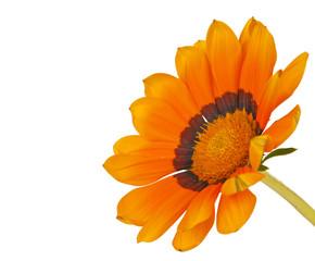 Gazania flower isolated