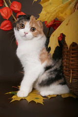 Scottish fold cat with autumn leaves