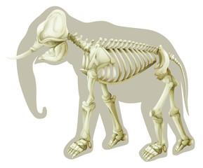 Elephas maximus - skeleton