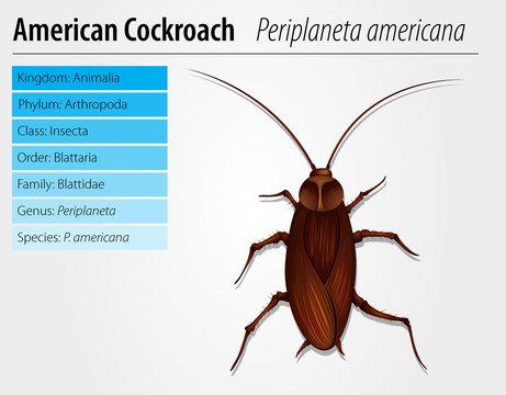 Periplaneta Americana- Cockroach