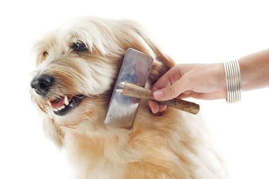 grooming griffon