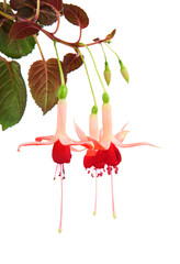 Red and rose fuchsia