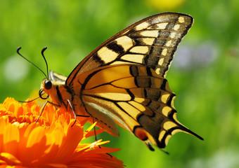 Papilio Machaon butterfly sitting on marigold flower