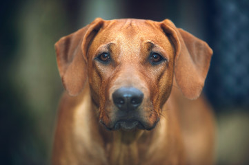 Beautiful dog rhodesian ridgeback puppy outdoors