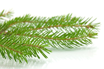 Pine tree branch isolated on white backgrond