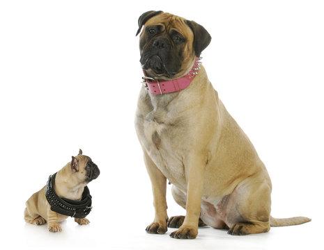big and small dog