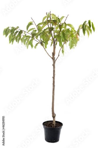cerisier en pot stock photo and royalty free images on. Black Bedroom Furniture Sets. Home Design Ideas