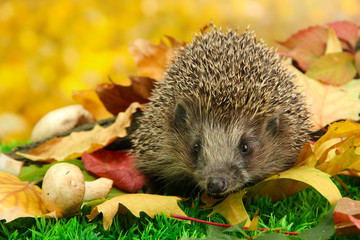 Wall Mural - Hedgehog on autumn leaves in forest