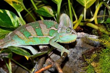 Surprised Chameleon