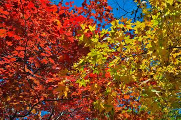 Autumn maples 17