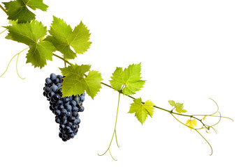 Collage of vine leaves and blue grape Fototapete