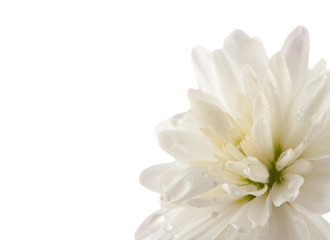 white chrysanthemum with drops isolated