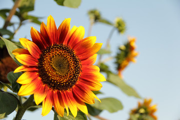 beautiful sunflower in evening sunshine_4074