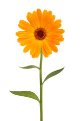 Wall Mural - Orange daisy with long stem