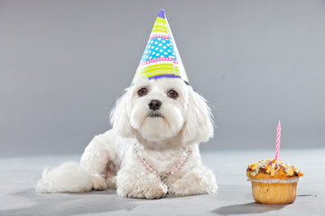 Funny maltese birthday dog with cake and hat. Studio shot.
