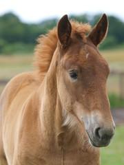 Suffolk Horse Foal Head Shot