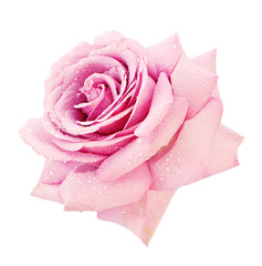 Pink rose closeup on a white background