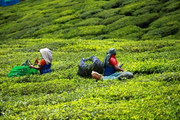 Keuken foto achterwand India Woman picking tea leaves in a tea plantation, Munnar, India