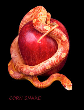 Snake wrapped around a red apple
