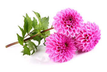 Wall Murals Dahlia Beauty dahlia on a white background