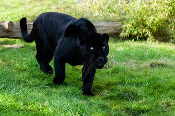 Wall Mural - Black Jaguar Stalking through Grass