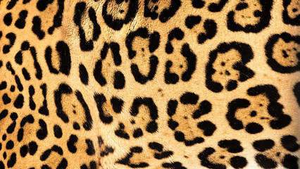Wall Mural - Real Live Jaguar Skin Fur Texture Background