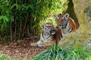Wall Mural - Two Cute Amur Tiger Cubs in Rocky Shelter