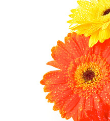 Foto op Aluminium Gerbera Yellow and Orange Gerbera Flowers