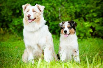 australian shepherd dog and puppy