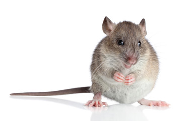 Wall Mural - Funny rat on a white background